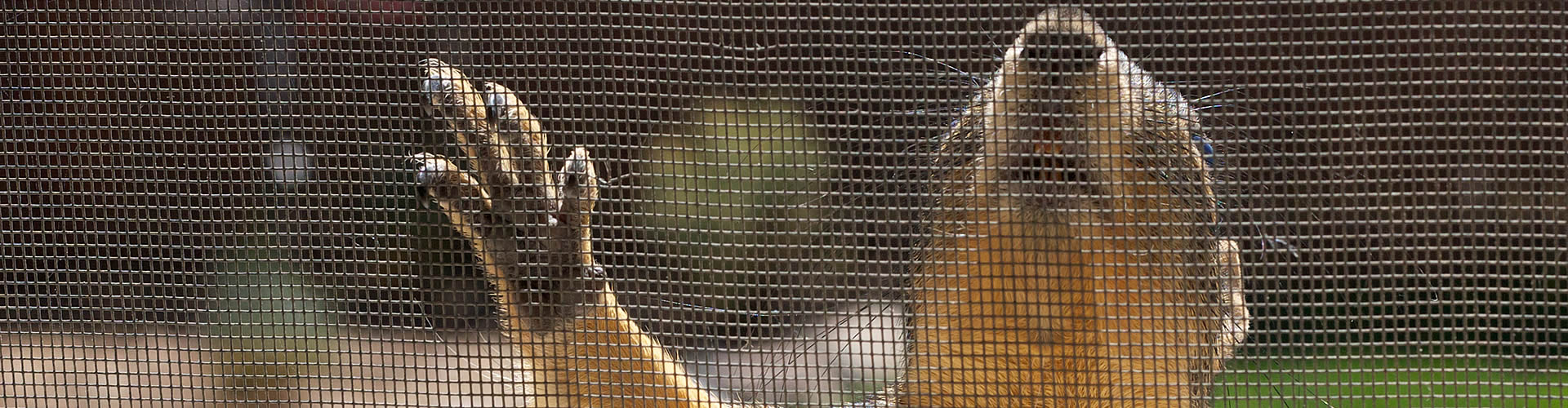 A squirrel is scratching a pet-proof screen, while the window screen is intact.