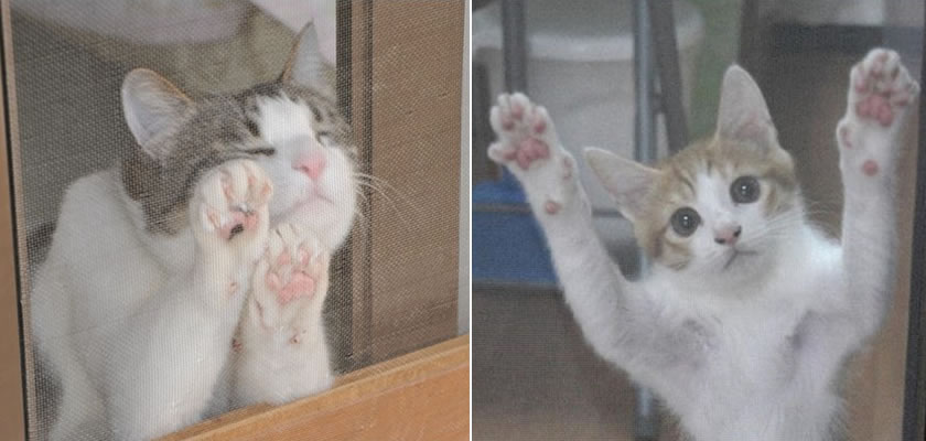 Kittens are blocked by the pet-proof screen, in order to protect them from falling out of the high windows.
